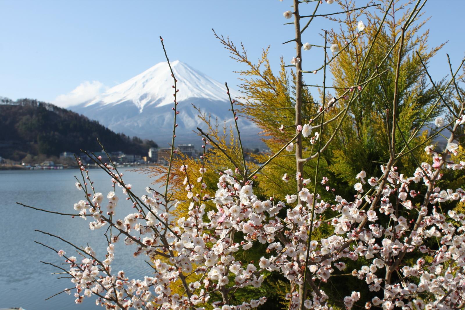 Fuji zur Kirschblütenzeit